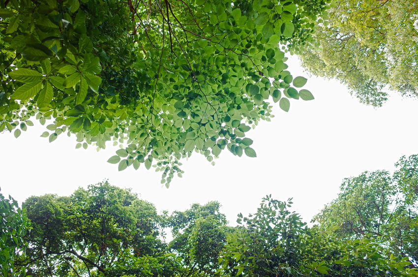 Beauty In Nature Branch Clear Sky Day Food Food And Drink Freshness Green Color Growth Healthy Eating Leaf Low Angle View Nature No People Outdoors Plant Plant Part Sky Tranquility Tree Tree Canopy