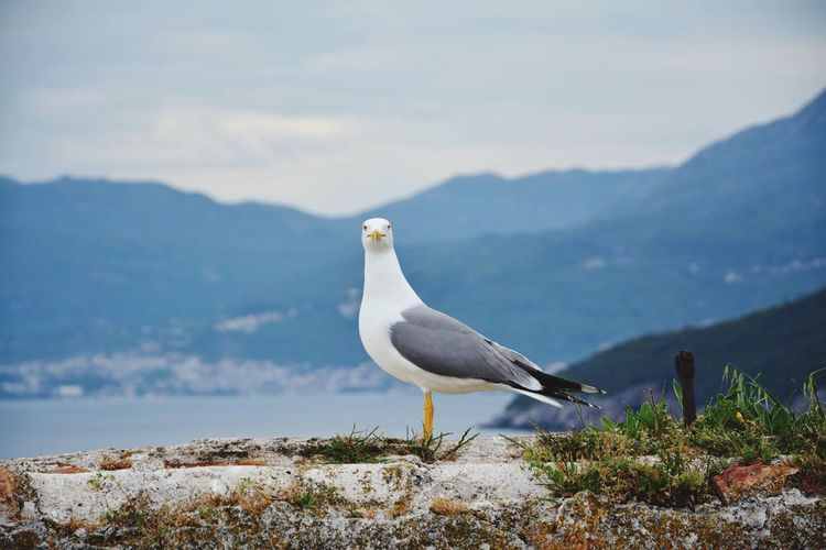Seagull perching on rock by mountains against sky