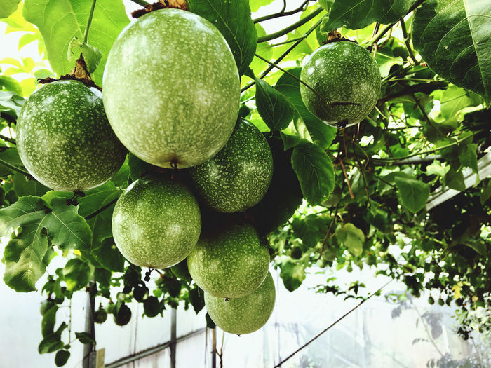 Low angle view of fruits hanging on tree