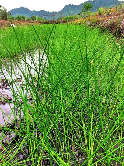 Fairy green Grass Field Agriculture Growth Green Color Nature Landscape Beauty In Nature Outdoors Rural Scene Mountain Day Tranquility Scenics Rice Paddy Plant No People Crafted Beauty EyeEmNewHere EyeEmNewHere