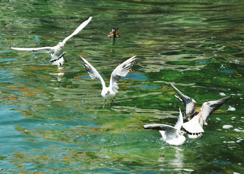 Seagulls Seagulls Seagull, Birds, Flight, Fly, Hover, Feathers, Wings, Beaks, Span, Seagulls In Flight Seagulls At The Lake Lake Constance Green Water Green Color Green