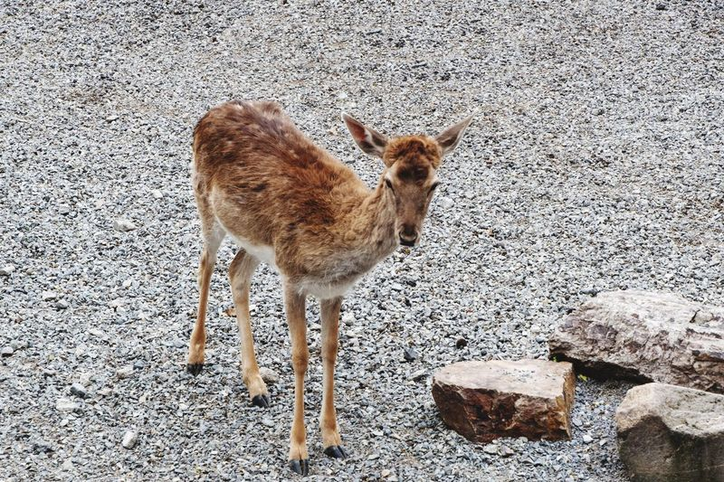 Sika Deer Animal Animal Themes Mammal Vertebrate Animal Wildlife No People One Animal Standing Pets High Angle View Brown Outdoors Land Zoology Domestic Animals Animals In The Wild Nature Day Deer Fawn