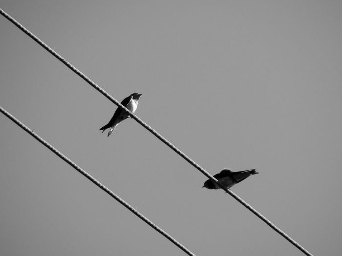 Diagonals and birds Two Swallows Bnw Grey Sky Gray Sky Ornithology  Diagonals Low Angle View Swallow 4x3photography