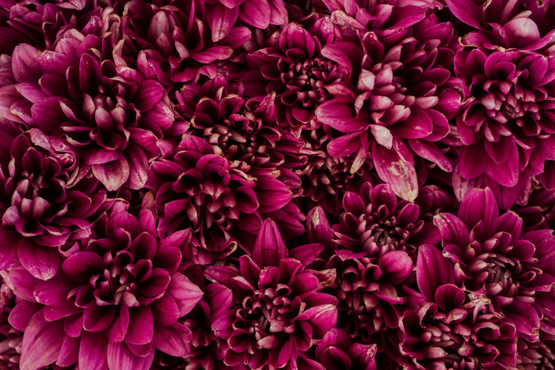 Backgrounds Beauty In Nature Close-up Dahlia Day Flower Flower Head Fragility Freshness Full Frame Growth Nature No People Outdoors Petal Plant Purple