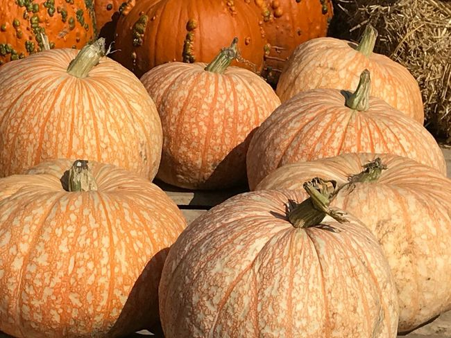 EyeEm Selects Close-up Green Color Orange Color Pumpkin Harvest Season Pumpkins On Display Pumpkins Pumpkin Farm