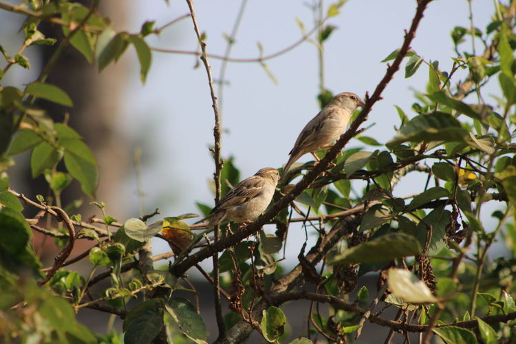 sparrows very rarely can see ,I'm traveling in RURAL VILLAGE three I seen this sparrows sitting on hibiscus branch,I like very much the sparrows because it's very helpful birds to farmers. it's eats the insert from the craft. so I took this picture from KULPADU named village in Visakhapatnam district A.P,india Sparrow Bird Sparrow, Bird, Feathers, Tweet, Bush Branches, Brown, Sitting, Still, Sparrow On A Branch Focus On Foreground Full Frame Full Length Sky And Clouds Close-up Focusing The Object No People No People Non-urban Scene Non-western Script No Radiation Village. Tree Bird Perching Branch Koala Wilderness Social Issues Animal Scale Tail Mourning Dove