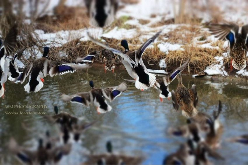 Mullet Creek in Streetsville. Throw back from last year... Ducks Flight TakeOff Urban Nature