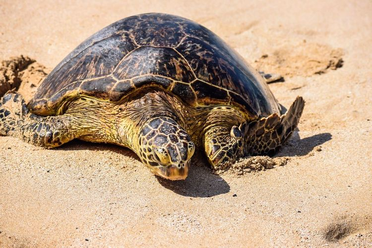 Reptile Tortoise Animal Shell Tortoise Shell Turtle Animal Wildlife Animal Day One Animal Animals In The Wild Sand Nature Sea Turtle Outdoors Animal Themes No People Close-up Oahu, Hawaii