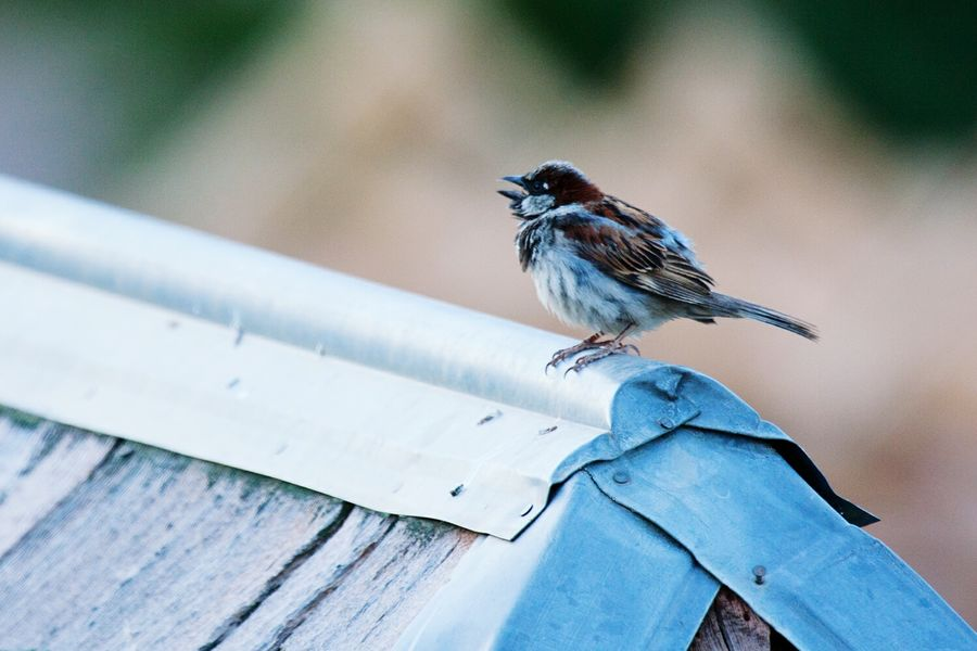 Good morning! Sparrow Bird Animal Themes Perching Songbird  Nature Outdoors No People Animals In The Wild Animal Wildlife One Animal Birds House Sparrow Bird Singing House Rooftop Morning Morning Light Good Morning Adapted To The City