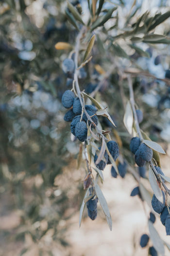 Agriculture Drought Drought And Floods Mediterranean  Mediterranean Food Olive Olive Tree Portugal Agricultural Land Agriculture Photography Alentejo Day Fruit Nature Olive Oil Olive Trees Olives