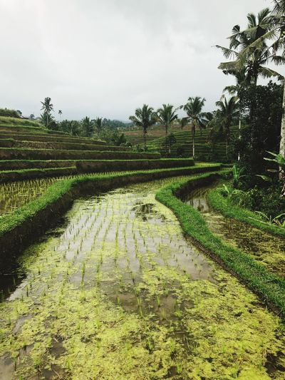 Rice terrace 🌱🍚 - Bali Jatiluwih Rice Terrace Rice Terrace Ubud Rice Terraces Plant Sky Tree Growth Nature Landscape Green Color Field Beauty In Nature Agriculture No People Tranquility Farm