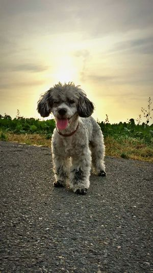 Dog Pet Sunset Sun Summer Summertime Love Lovethis Photography Aisha Cute Pets Littlemonster First Eyeem Photo