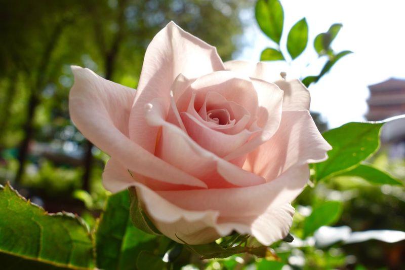 Rose flower of love Rosé Rose - Flower Pink Flower Pastel Rose Rose Petals Roses, Flowers, Nature, Garden, Bouquet, Love, Plant Flower Flowering Plant Petal Beauty In Nature Vulnerability  Fragility Freshness Plant Part Rosé Flower Head