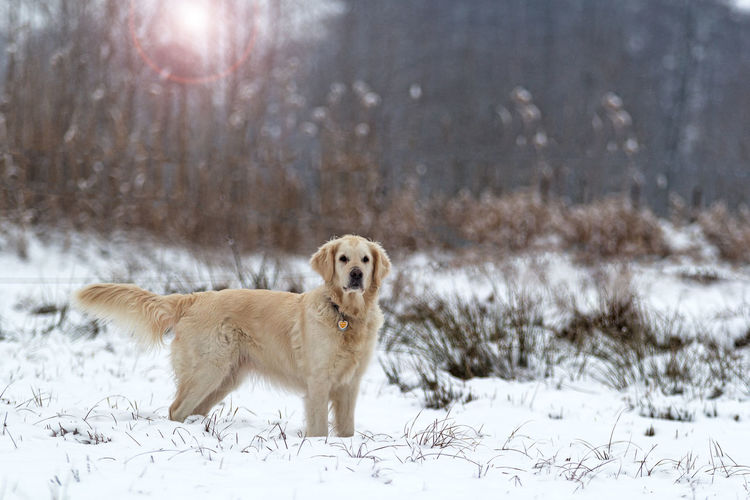 Dog standing on snowy field