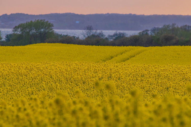 Rapeseed Field Rapeseed Sheep Village Life Village Green Field Easter Spring Springtime Sunset Germany Yellow Beauty In Nature Landscape Plant Land Agriculture Growth Rural Scene Flower Tranquil Scene Crop  Farm Environment Nature Oilseed Rape