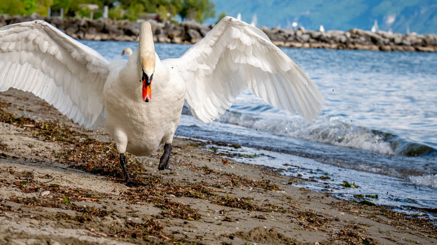 One mute swan spreading wings on the beach. cygnus olor runs in attack position.