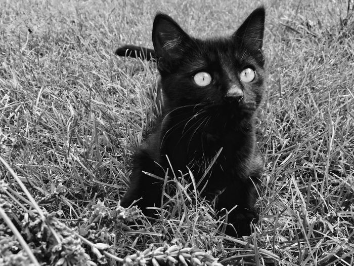 One Animal Domestic Cat Animal Themes Grass Domestic Animals Pets Feline Mammal Portrait Looking At Camera No People Sitting Outdoors Day Nature Black Color BLackCat EyeEmNewHere EyeEmNewHere Pet Portraits