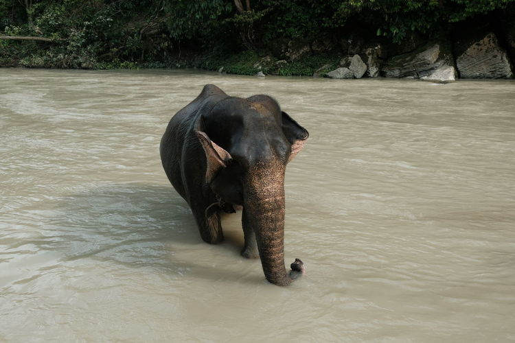Elephant in a lake