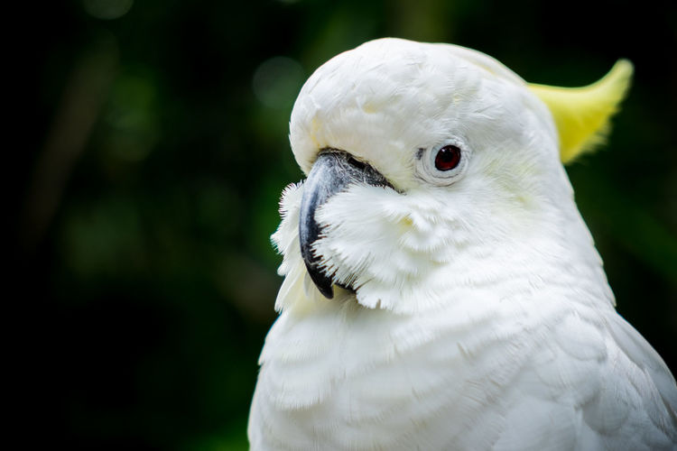 Close-up of sulphur crested cockatoo at bali zoo