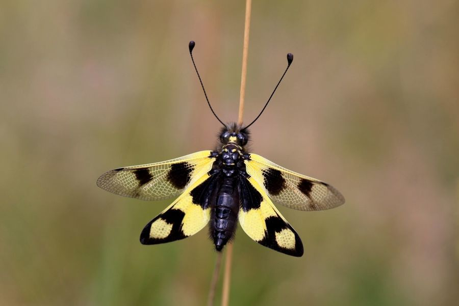 Owlfly Insects  Animals Macro Nature Yellow Wings Close-up Closeup Eye4photography  Wing Antenna Protectedspecies Outside Spread Wings