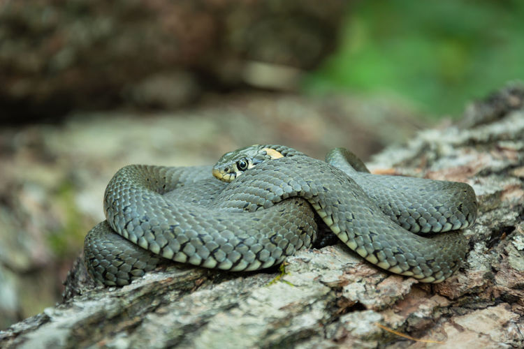 Close-up of snake on wood