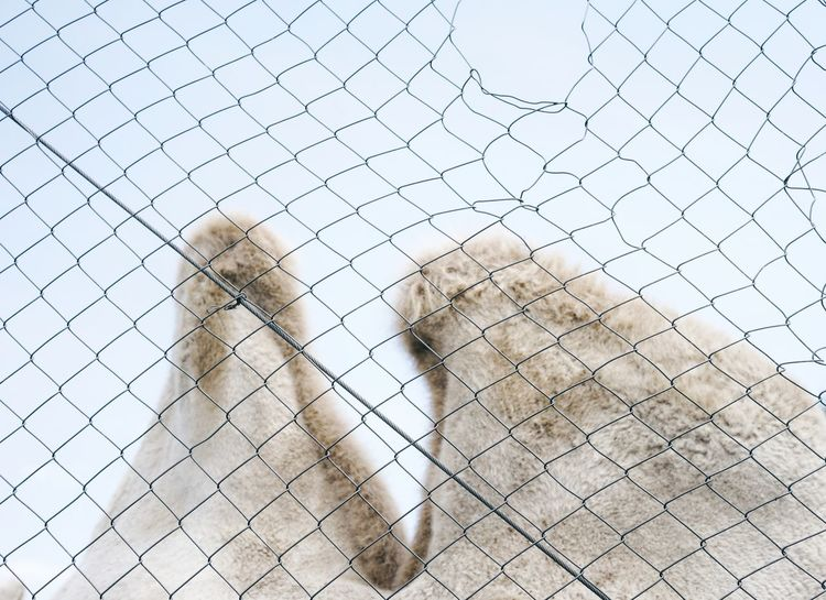 Camel Bactrian Camel Prison Chainlink Fence Sky Close-up Barbed Wire Cage Confined Space Chainlink Fence Trapped Padlock Captive Animals Captivity