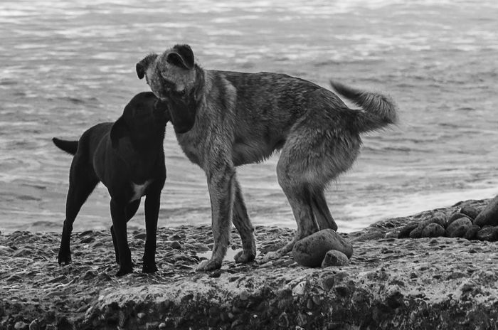 Couple Dogs Friends Kiss Love Stray Dog Animal Themes Animals Beach Black And White Day Dog Domestic Animals Friendship Mammal Nature No People Outdoors Pets Portrait Sand Sea Water Pet Portraits Black And White Friday