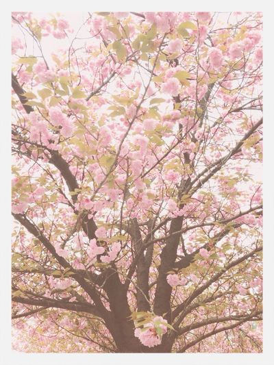 Flower Cherry Blossoms Pink 왕벚꽃나무 핑꾸핑꾸해서 예쁨