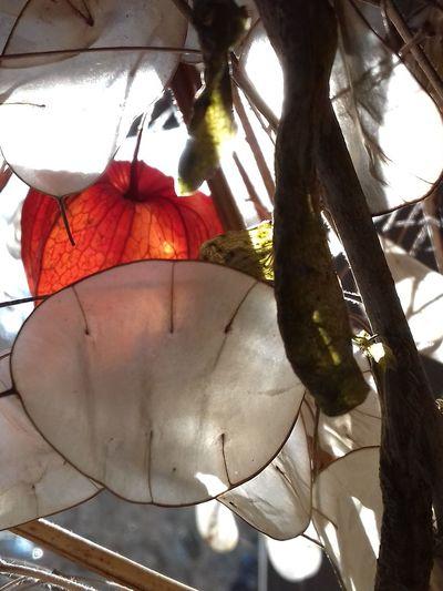 Transparent Transparency Flower Silbertaler Lampionblume Orange Light Lampionblume Trockenblumen Dry Flower  Gegenlicht Transparenz Pergament Tree No People Branch Day Outdoors Nature Sky