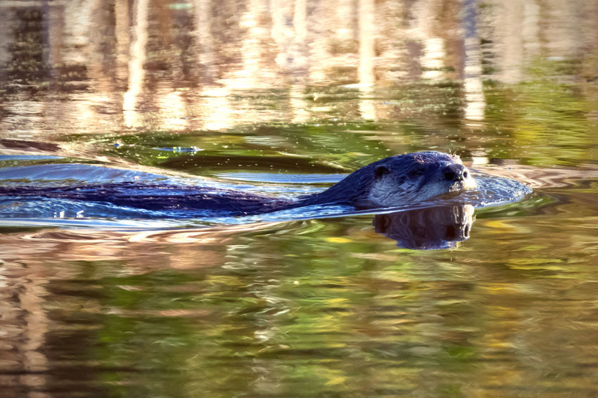 Busy Otter Swimming Down the Canal Water Animal Themes One Animal Animal Animal Wildlife Lake Animals In The Wild Swimming Day No People Nature Outdoors Animal Head  Otter Wildlife & Nature Wildlife Photography Canal Whiskers Habitat Ocean Shores, WA Curious WetlandsWildLife Wildlife Photos Mammal Natural