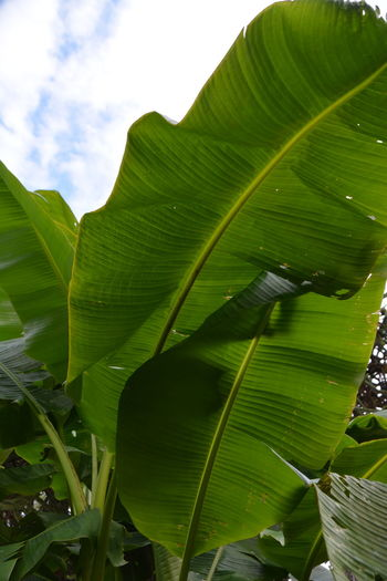 Low angle view of green leaves on plant against sky