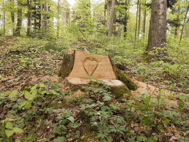 In a tree stump a heart is carved. Albsteig Hiking Beauty In Nature Carved Carving Carving In Wood Environment Forest Green Color Growth Heart Hiking Trail Land Nature Non-urban Scene Plant Scenics - Nature Schwäbische Alb Tranquil Scene Tranquility Tree Tree Stump Tree Trunk Trunk WoodLand