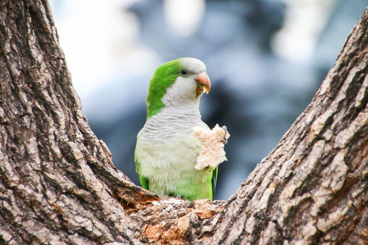 Close-up of parrot holding food on tree