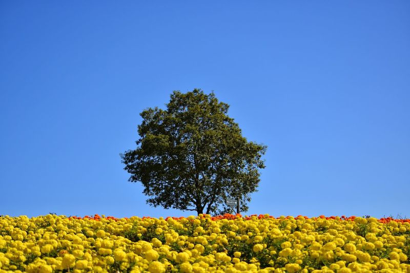 Yellow flowering plant on field against clear blue sky
