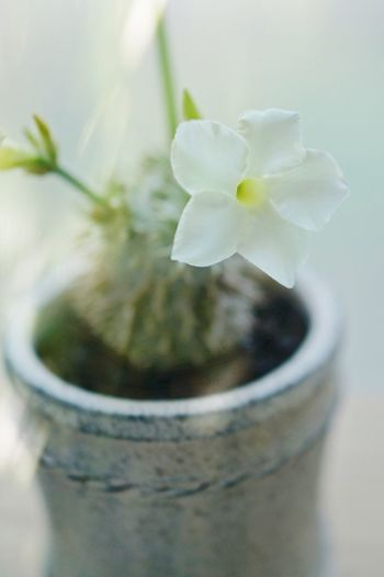 Plant Flower Flowering Plant Beauty In Nature Close-up Nature Freshness Container Flower Head Inflorescence Vulnerability  Fragility Selective Focus Flower Pot Petal White Color Jar No People Indoors  Growth