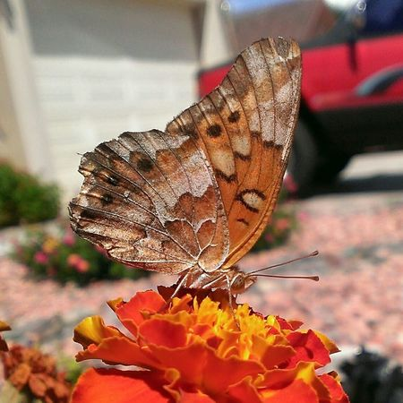This butterfly stopped by to get some nectar. Taking Photos Check This Out Hello World Desert Beauty Plants Nature Insects  Frommygarden Andrography Popular Photos