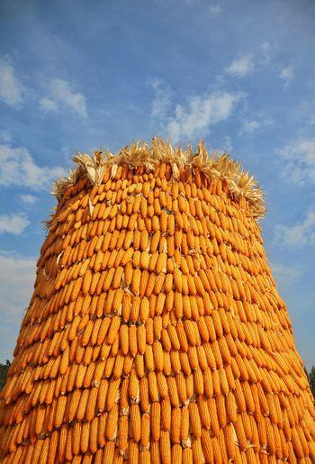 Blue Yellow Corn Corn Husk Dry Corn Field Corn Kernel Dent Corn Yellow Corn Cornhusks Corn And Sky Drycorn Pod Corn Maize Sky