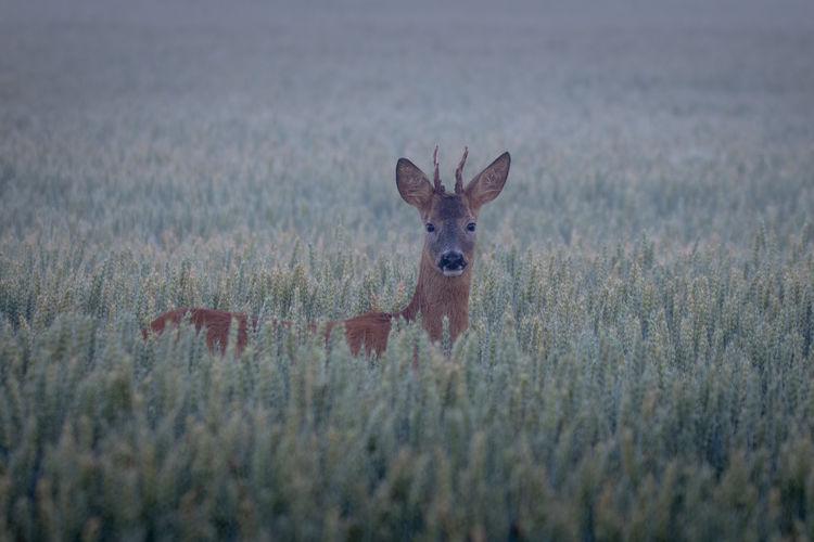 Portrait of giraffe on field