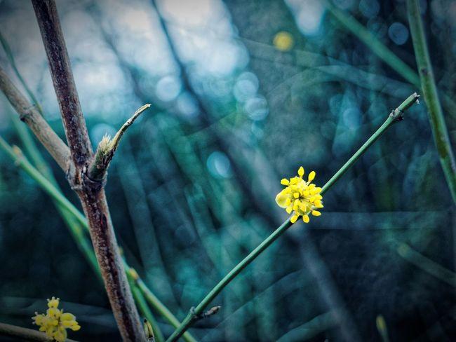 Beauty In Nature Claudetheen Close-up Dark Flower Green Nature Spring Spring Flowers Springtime Vintage Yellow