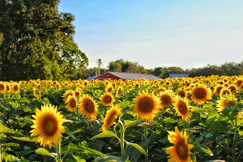Yellow Flower Sunflower Beauty In Nature Rural Scene Field Agriculture In Bloom Blooming Grinter's Farm Kansas Canon Eos Rebel SL1 Vibrant Color Yellow Color Clear Sky Red Barn Agriculture Photography Tranquil Scene Freshness Nature