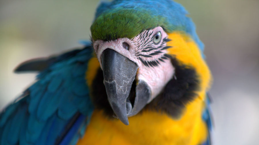 Bird Animal Themes Animal Animal Wildlife One Animal Animals In The Wild Vertebrate Close-up Parrot Focus On Foreground Macaw Animal Body Part Beak No People Day Nature Blue Gold And Blue Macaw Animal Head  Outdoors