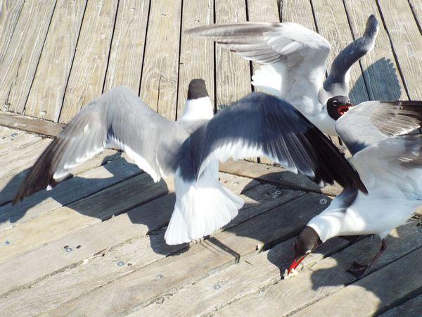Bird Birds Nature Boardwalk Flying Birds Fighting Fighting Over Food Beach Atlantic City New Jersey