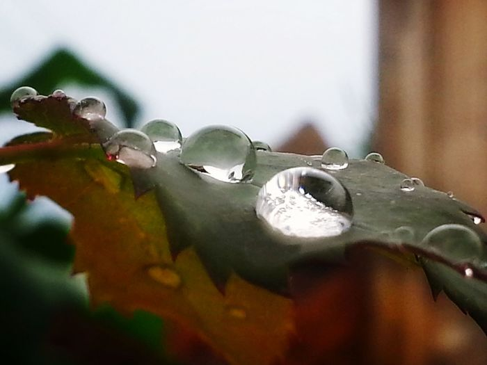 Remembering warm summer rain now that cold & snow in the forecast... Weather Forecast Rainy Day Not Raining Tho Rain Drops Drops Droplets Rain Drops On Leaves Water Drops On Leaves Wet Leaves Rain On Leaf Water Droplets Drops_perfection Drop_master Macro Macroclique Eye4photography  Check This Out Samsung Galaxy S7 Photography Is My Escape From Reality! | No People Close-up Water Day Outdoors Nature | Perspectives On Nature