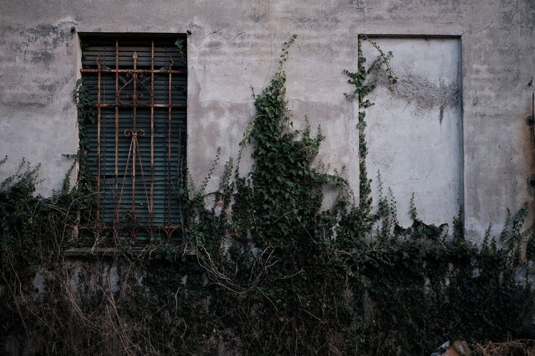 Ivy growing on old building