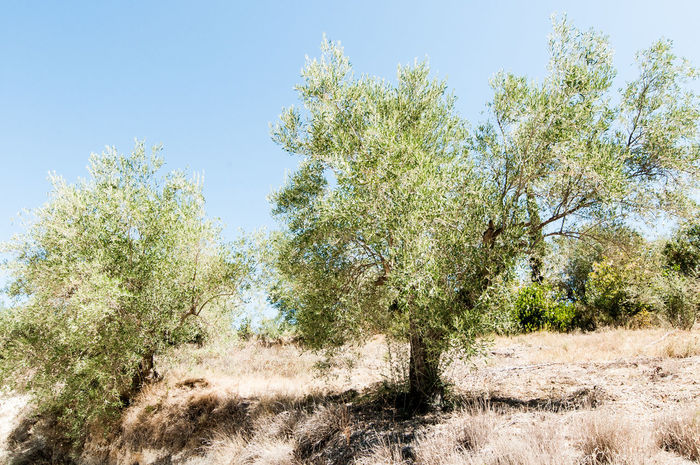 Winefields Krasi,oinos,olive_trees, Green Color Rural Scene Tranquil Scene Beauty In Nature Grape No People Scenics Nature Cypress Outdoors Sky Growth Agriculture Landscape Nemea, Wine,wine_bottle,wineyard,greece,peloponnese Day Field Tranquility Farm Clear Sky