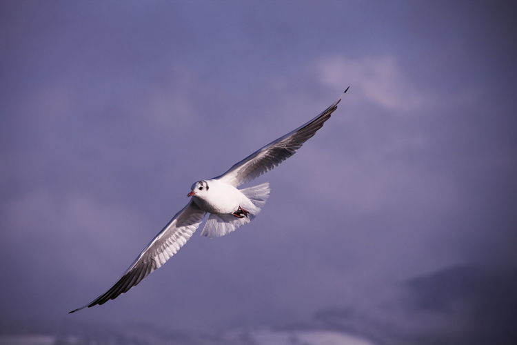 Animals In The Wild Beauty In Nature Bird Cloud - Sky Flying No People One Animal Seagull Spread Wings
