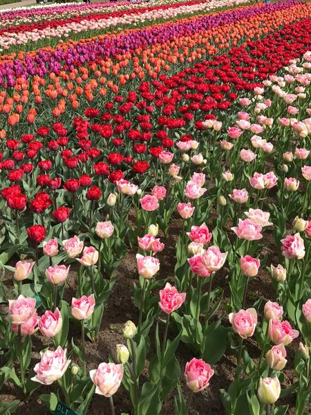 Flower Beauty In Nature Pink Color Growth Freshness Nature Field No People Fragility Petal Abundance Red Outdoors Blooming Flower Head Multi Colored Day Plant Flowerbed Tulips🌷