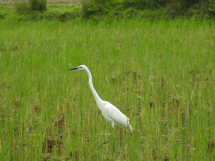 Great egret on marsh