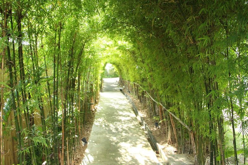 Being focused in the tunnel Straight Forward Focus Straight Forward Nature Growth Green Color Tranquil Scene Tranquility Lush Foliage Beauty In Nature Tree The Way Forward Landscape No People Day Grass Bamboo Grove Outdoors Plant Bamboo - Plant Scenics