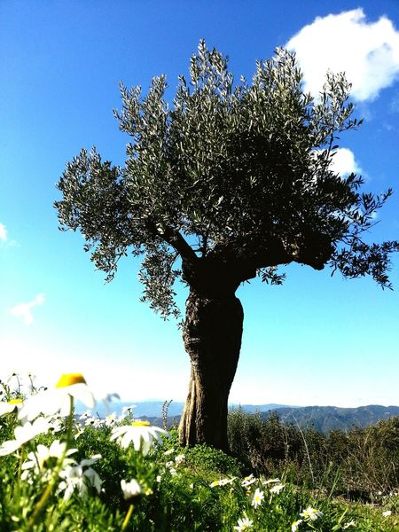 Nature Tree Beauty In Nature Relaxing Love This Day🌞💜 Beautiful Walking Around Hanging Out Smartphone Photography Hello World Open Edit For Everyone Spain, Andalucia Smart Simplicity Landscape_photography Beautiful Nature Art Is My Life Check This Out Nature Photography Olivetree Margaritas🌻